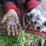 भांग की खेती को वैध करने की तैयारी में प्रदेश सरकार, बनाई जा रही है नीति