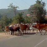 प्रदेश में बढ़ती आवारा पशुओं की समस्या और समस्या से निपटने के लिए सुझाव